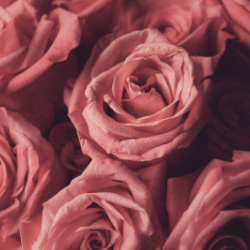 close up images of big, pink roses