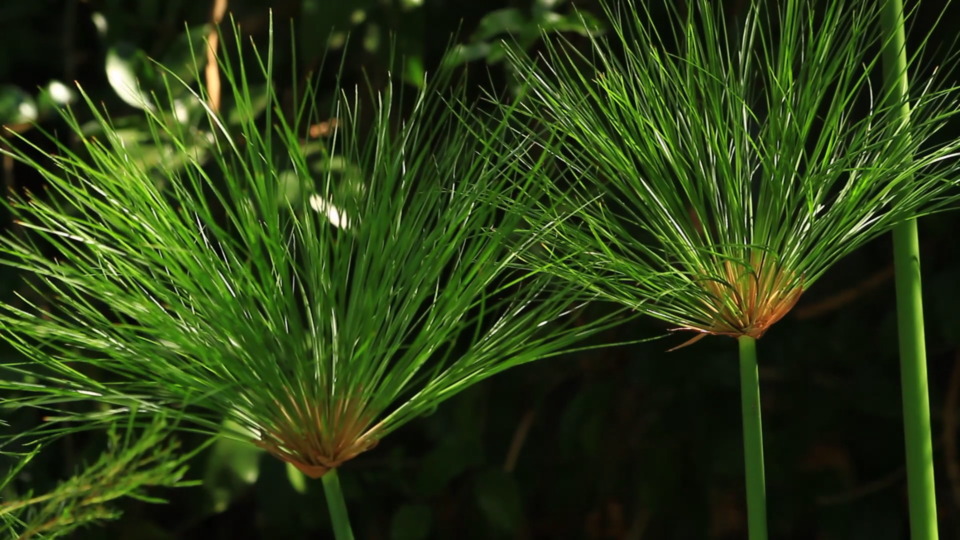 close up image of papyrus plant, native to the Nile River in Egypt