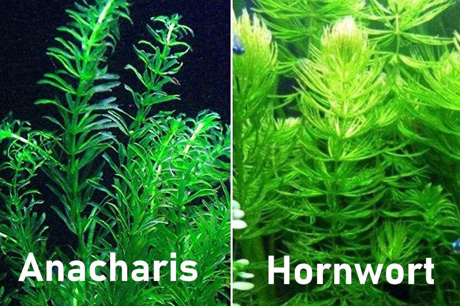 pond plants Anacharis and Hornwort bundle