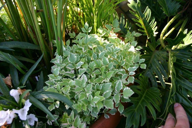 Water celery pond plant