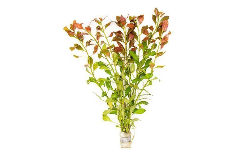 ludwigia repens red aquarium plant