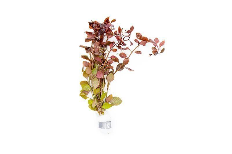 ludwigia natans super red aquarium plant