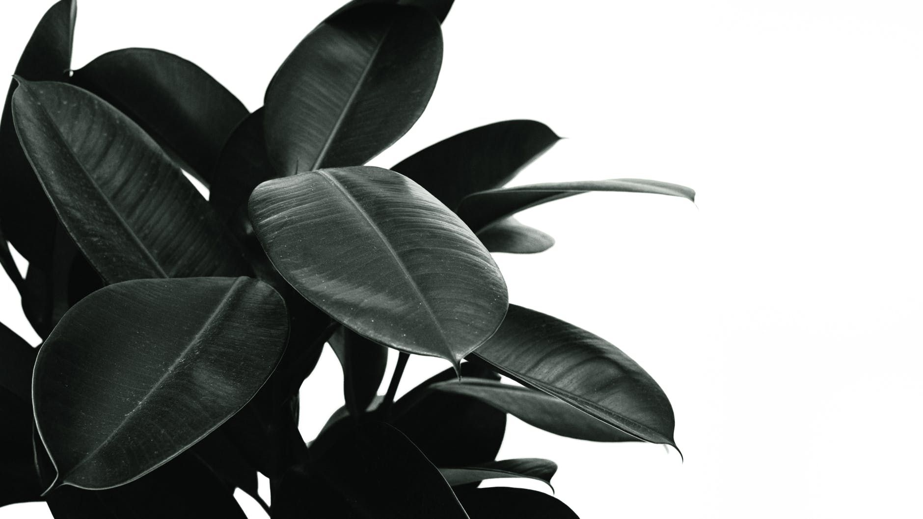 best indoor plants for low light - rubber plant
