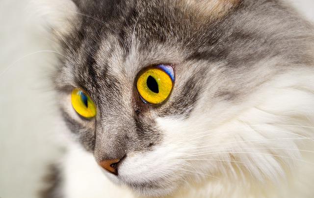 chat aux yeux jaune