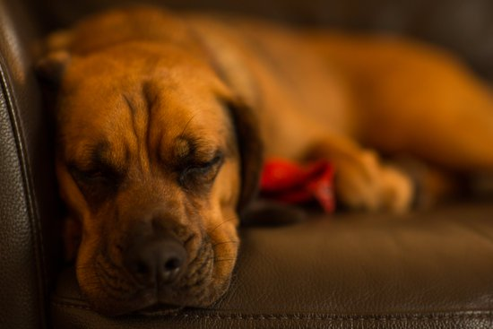 Big dog sleeping on a brown leather couch