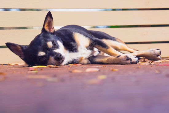 Black and brown chihuahua sleeping on the deck in the fall