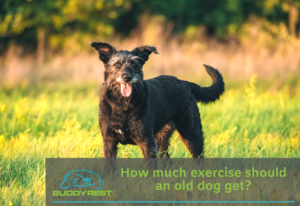 HOW MUCH EXERCISE SHOULD AN OLD DOG GET?