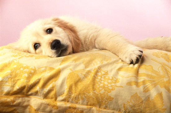 White Lab Laying on a yellow dog bed pillow