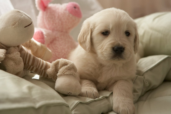 Lab puppy laying in their bed with their toys around