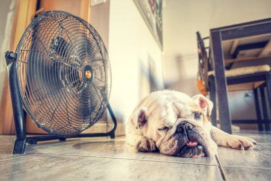 Hot bulldog sleeping next to a fan on the tile floor