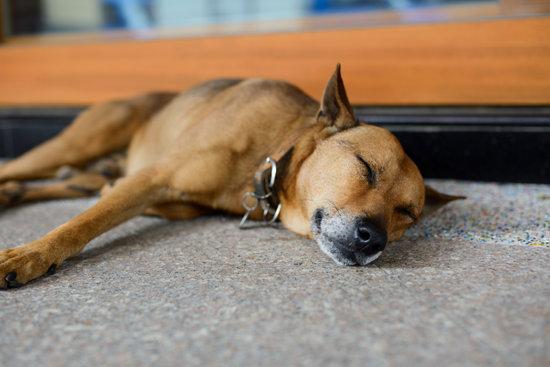 Brown Dog Sleeping On A Hard Cool Floor