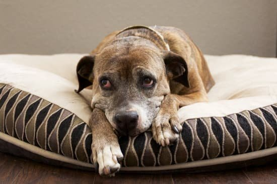 Older brown dog laying on a white and brown dog bed.