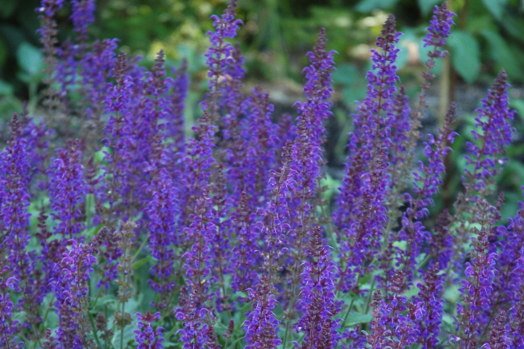 May Night Sage Perennial Garden Plant