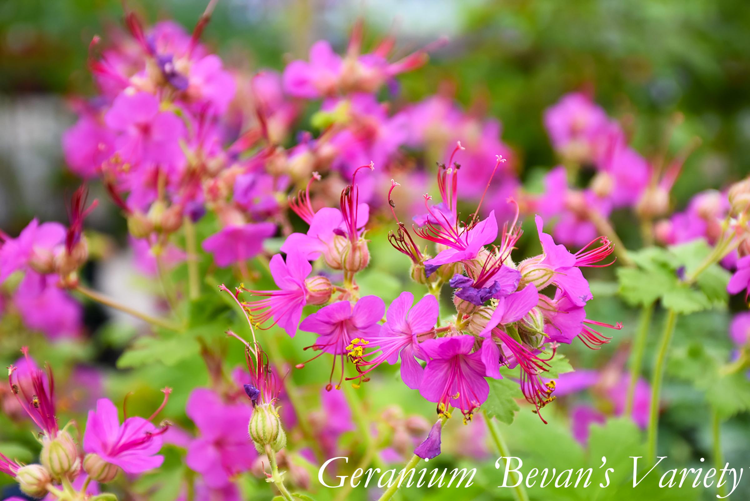 Geranium Cranesbill Bevan's Variety