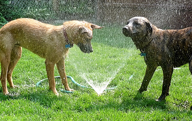 Cooling Off Dogs with Sprinklers and Hoses