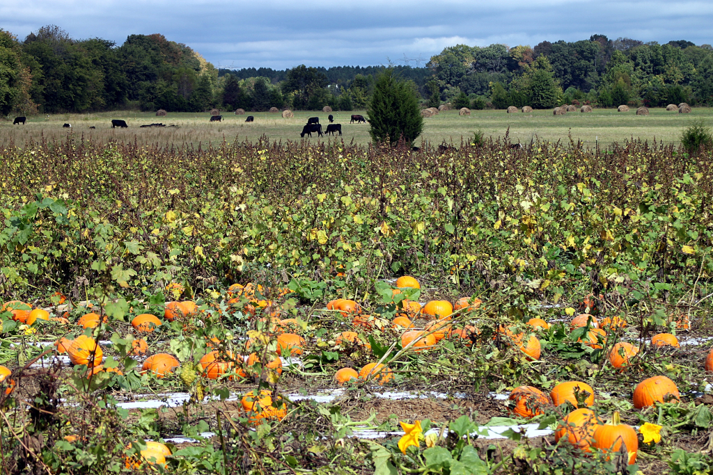Grapevine Cornucopia with Apples, Cream Sunflowers, Corn Husks & Rosehip Berries