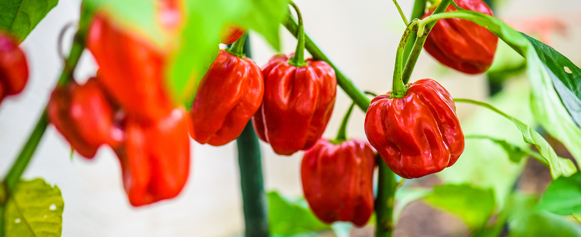 Habanero; The Spicy Superfood