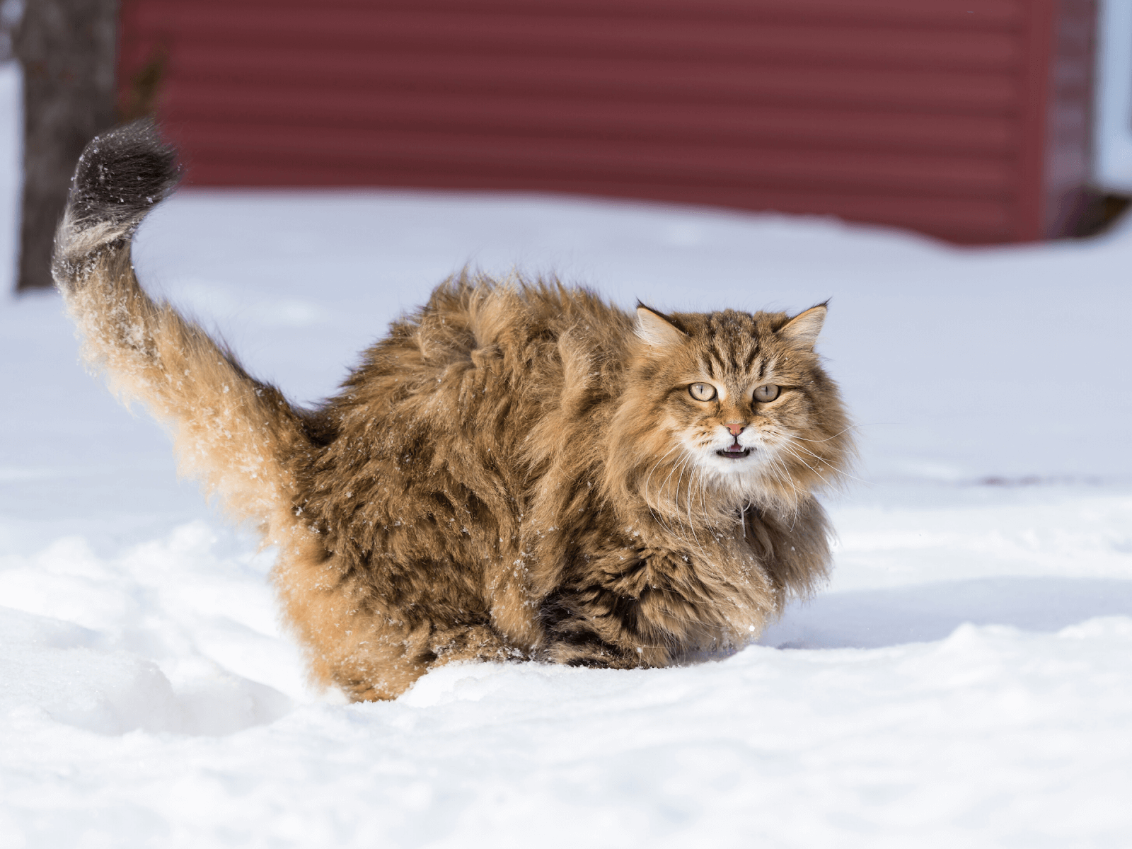 cat-in-snow-tail-standing