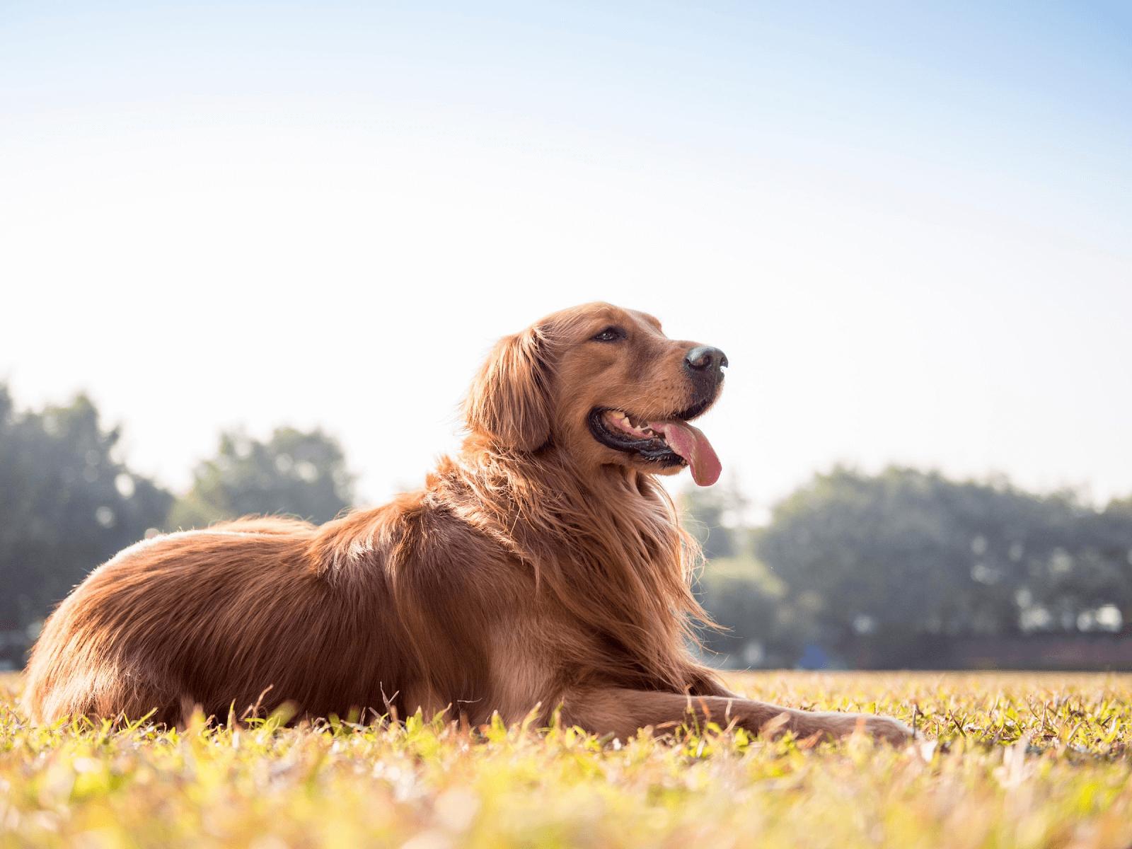 golden-retriever-sitting-on-grass