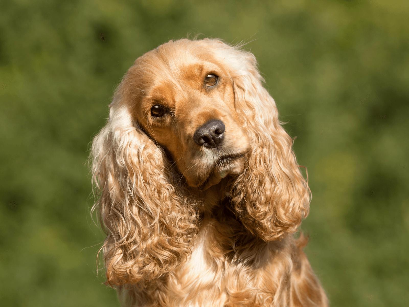 cocker-spaniel-dog-family