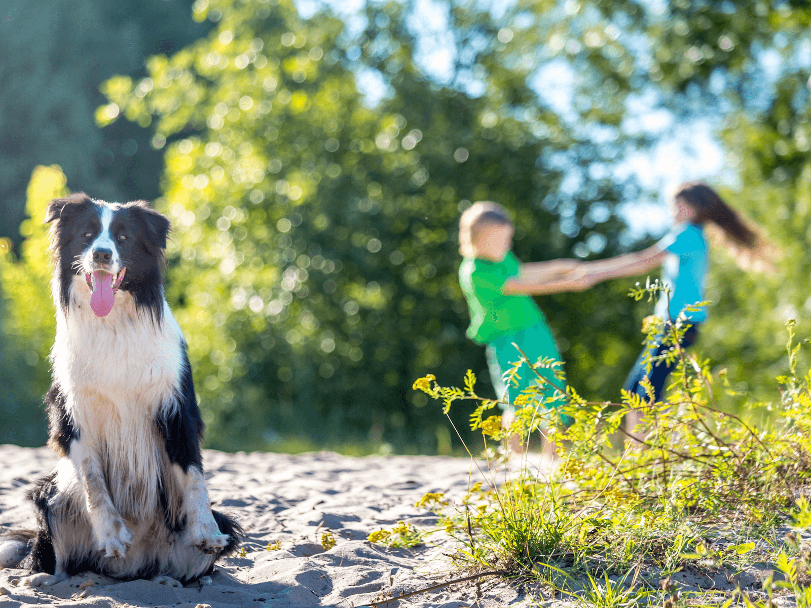 bordie-collie-dog-on-sand-kids-playing-background