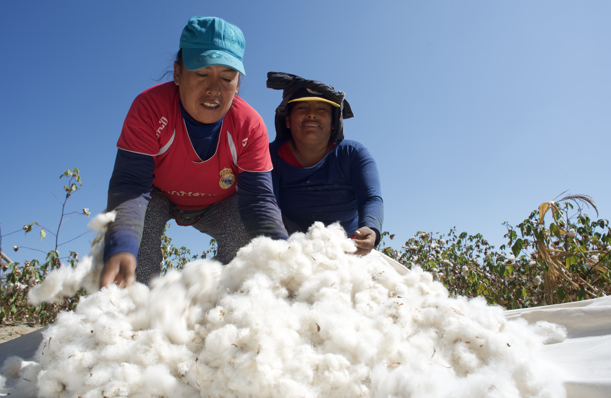 Organic Pima Cotton Harvest
