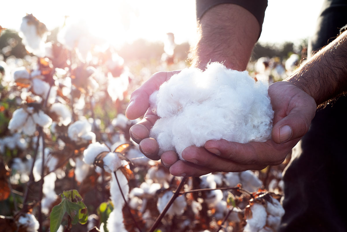 From the cotton farm in Chiclayo, Peru