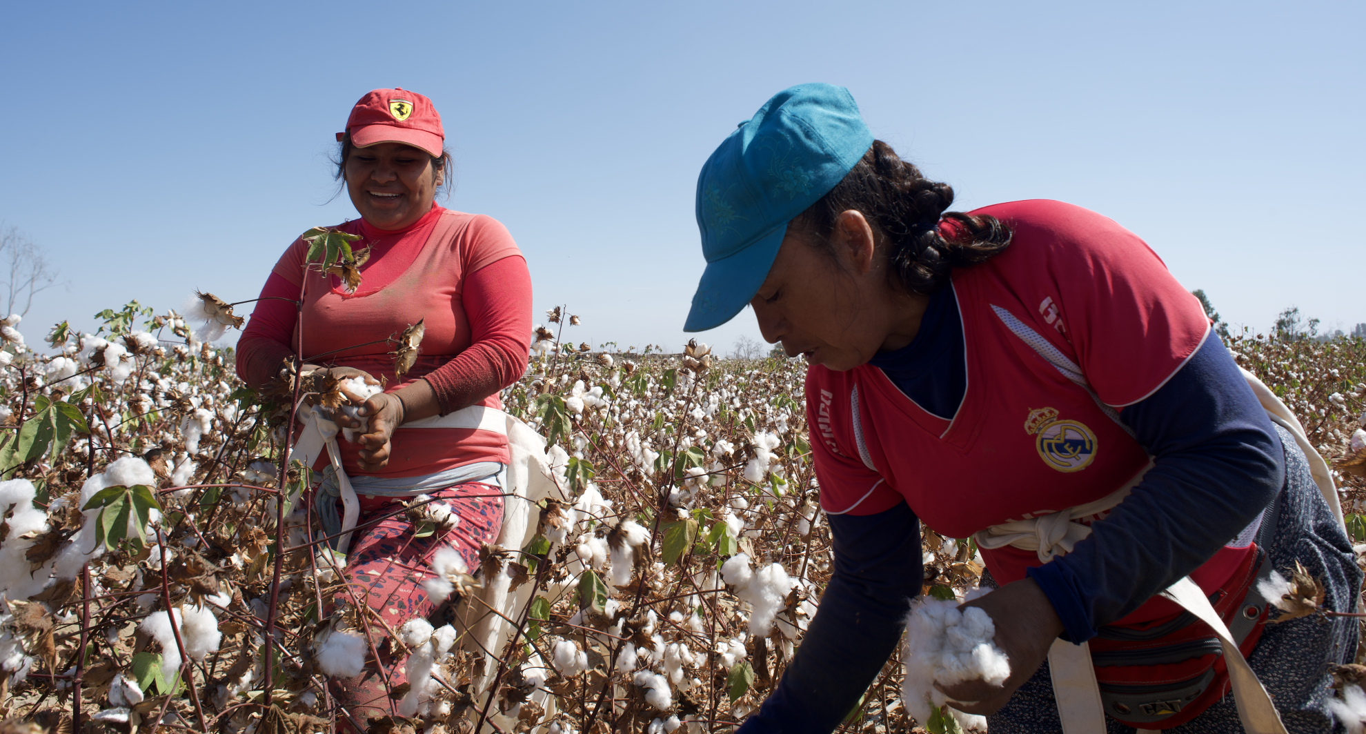 Organic cotton being harvested in Peru