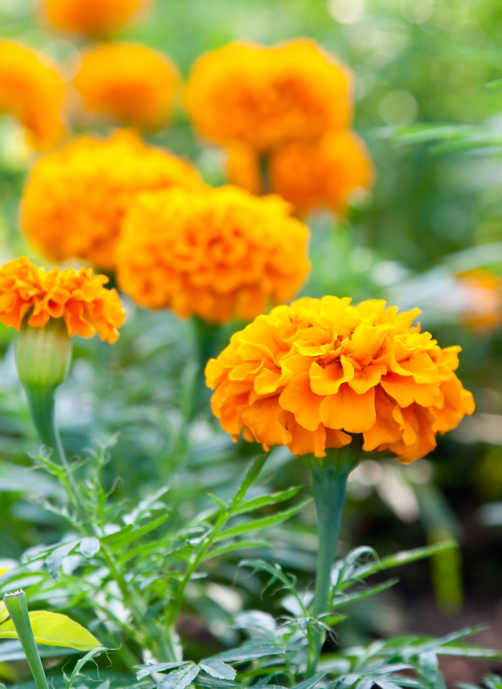 Cat friendly marigold flowers