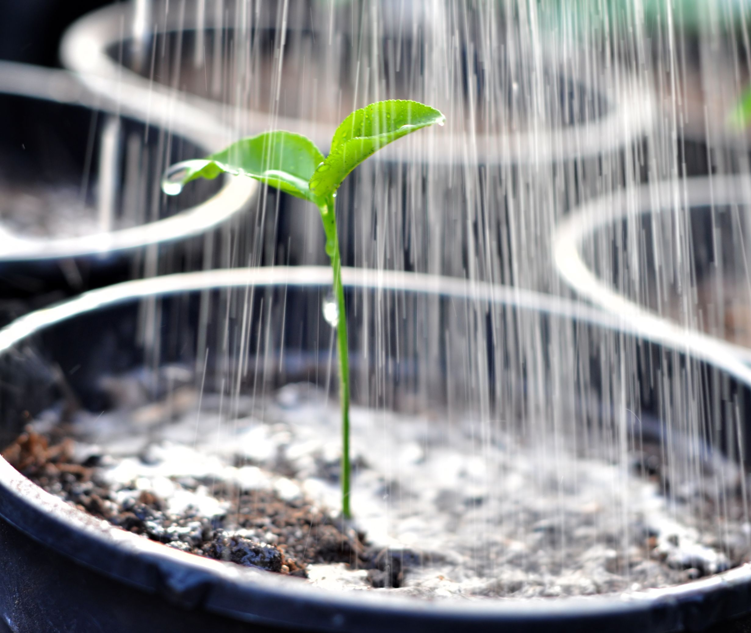 Watering and Nutrients For Pepper Plants