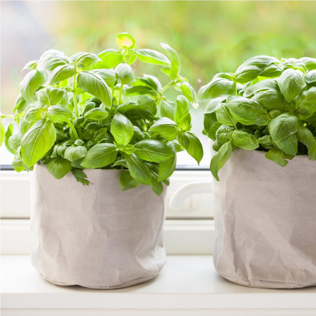 Windowsill Basil Plant