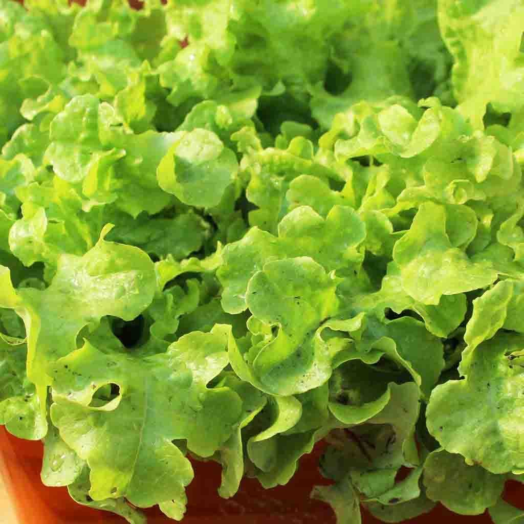 Lettuce Grand Rapids