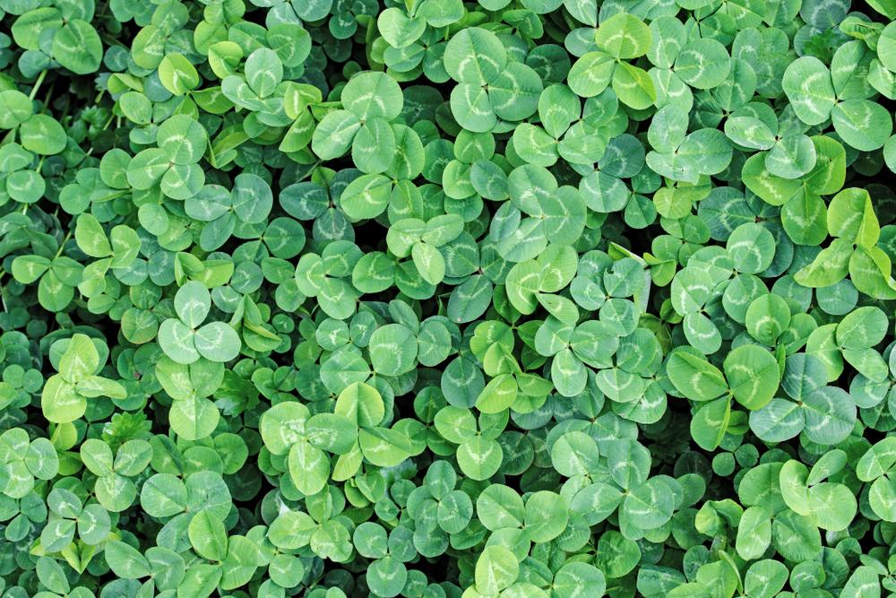 Clover cover crops for fall garden