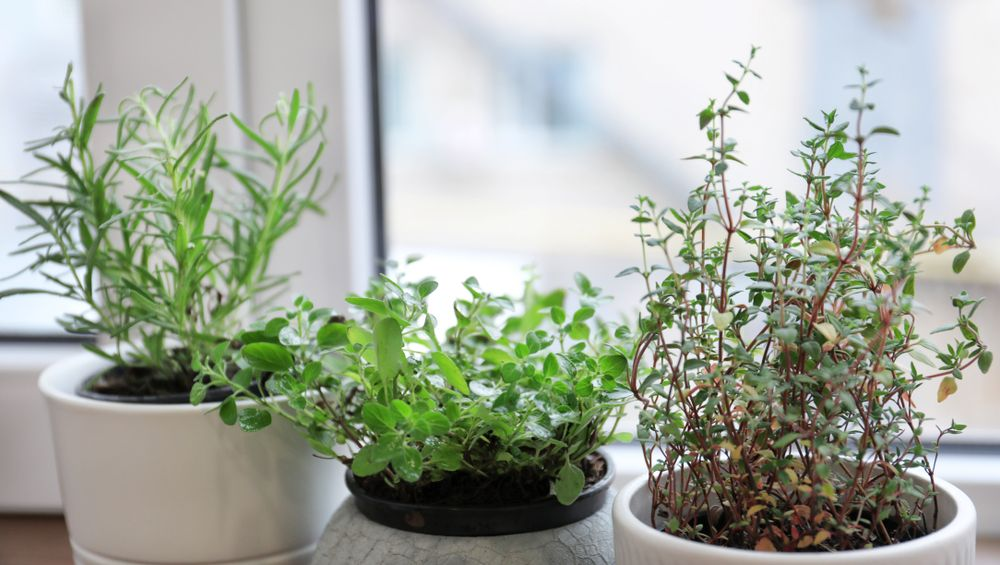 Ferry-Morse indoor container friendly herb seeds collection