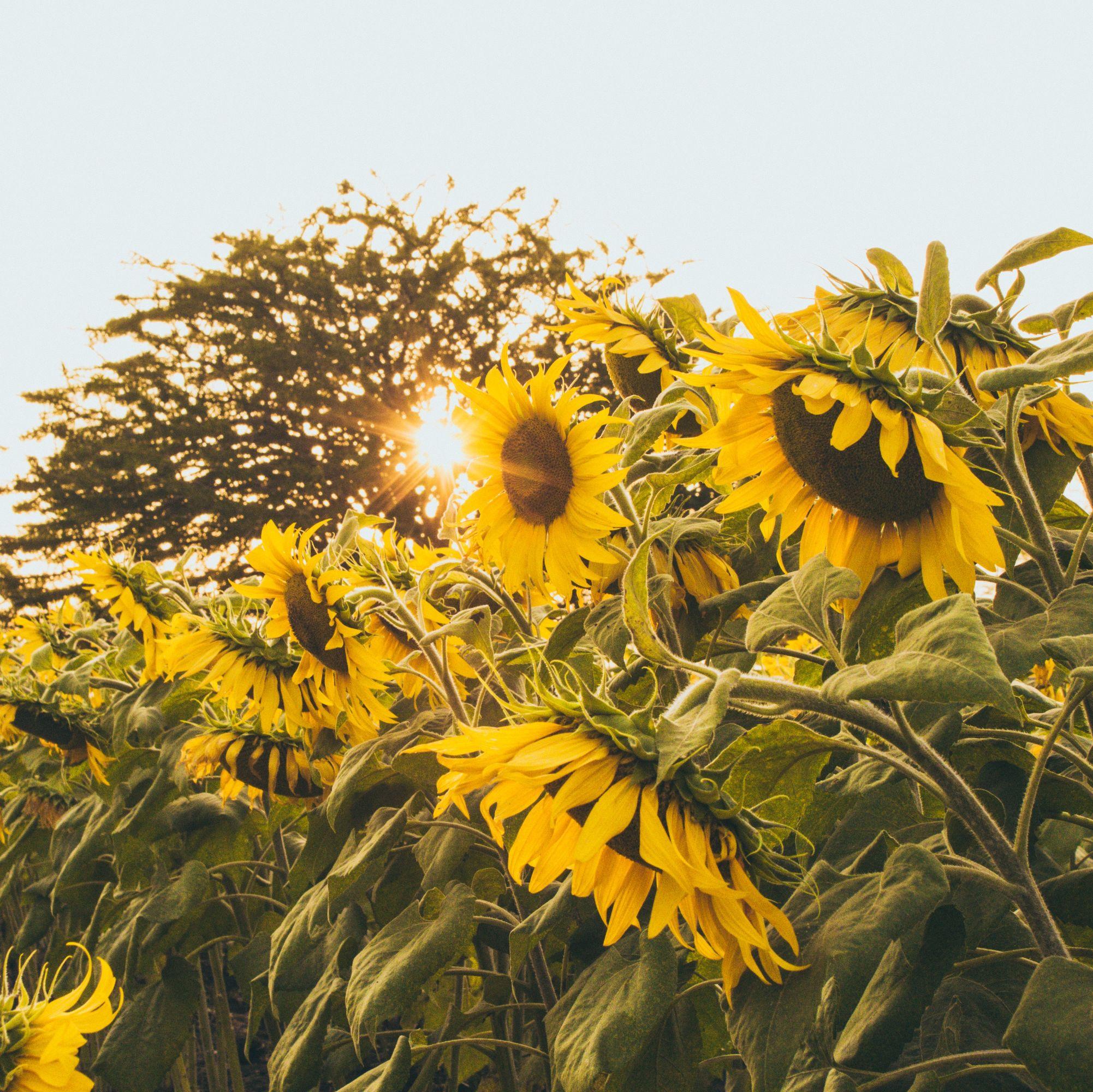 42a8ff6397a9c5 7 Tips For Growing a Sunflower Garden – Ferry-Morse Home Gardening