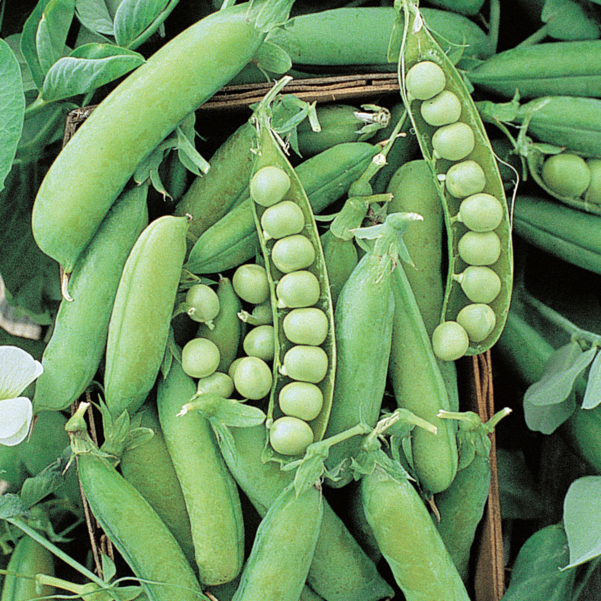 Pea Alaska Seed