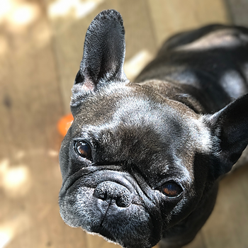 Frenchie Love -Are French Bulldogs Good Therapy Dogs?