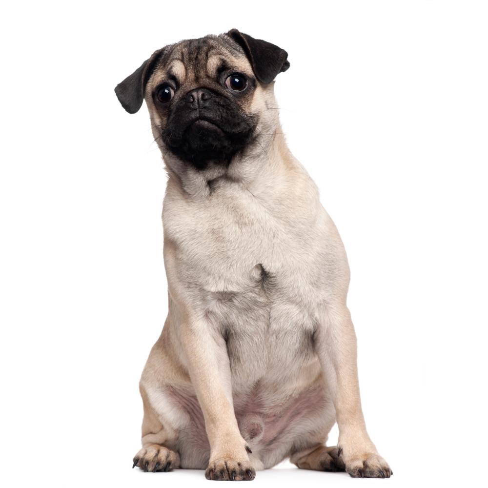 Perro Pug macho