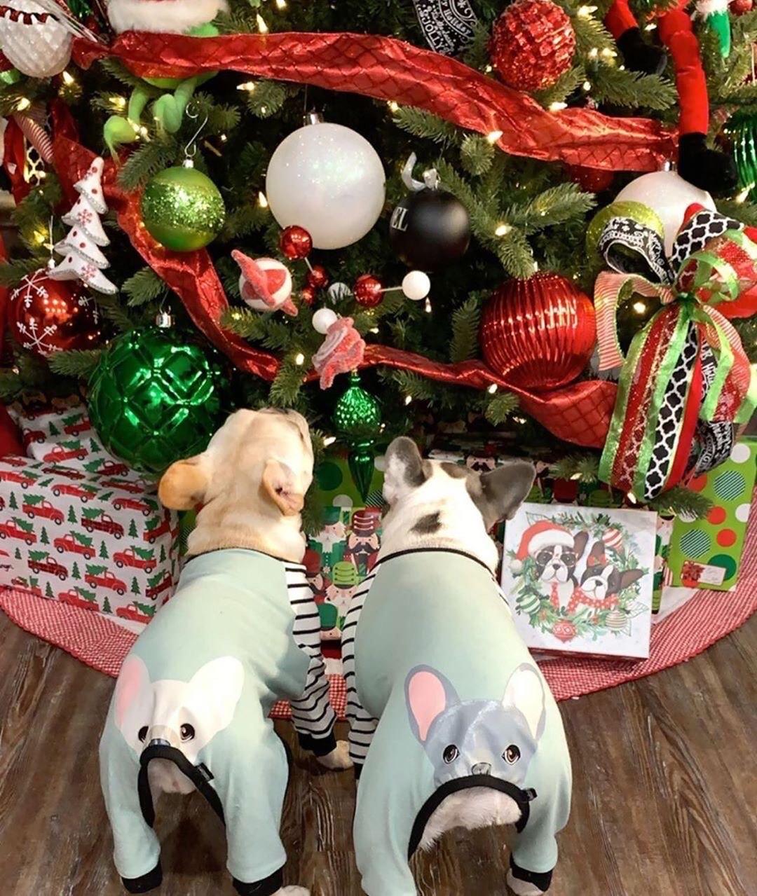 Deux chiens Frenchie portant un pyjama pour chien de spécialité Frenchiestore sous un arbre de Noël
