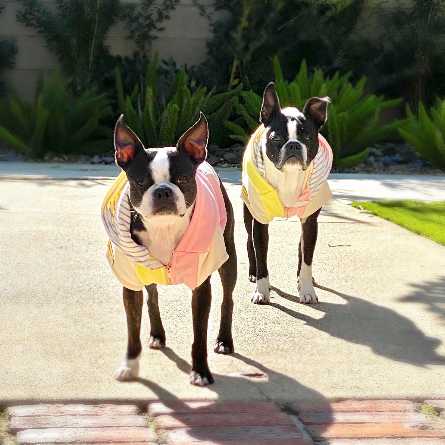 Chaquetas para perros Boston Terrier