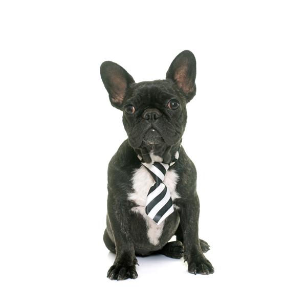 Color estándar de Bulldog francés atigrado