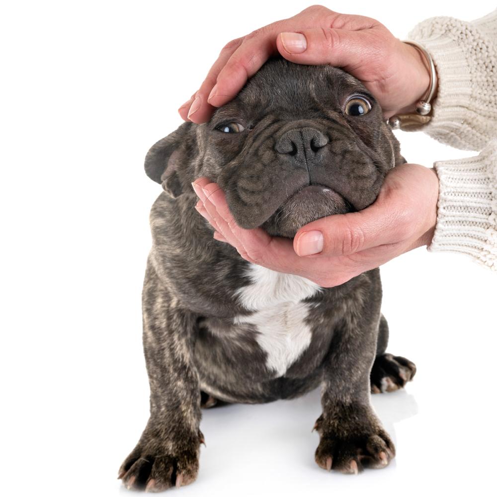 Hot spot in French bulldog