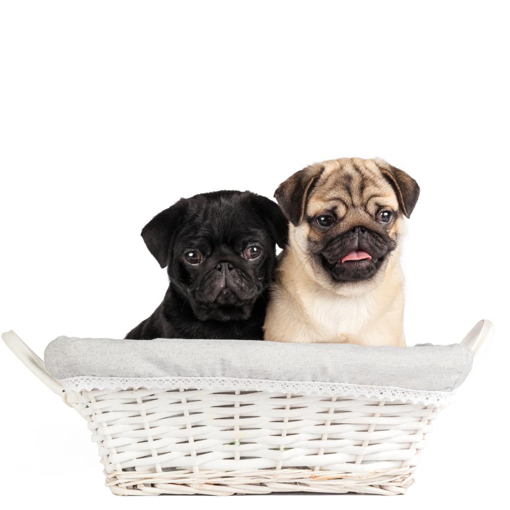 Pug Puppy - Macho contra hembra!