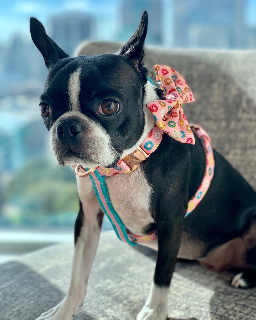 Boston Terrier dog breed harness