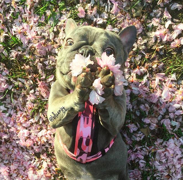 Bluenjy the French Bulldog sniffing flowers
