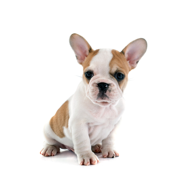 Mini French Bulldog Micro Frenchie oder Teacup Frenchies