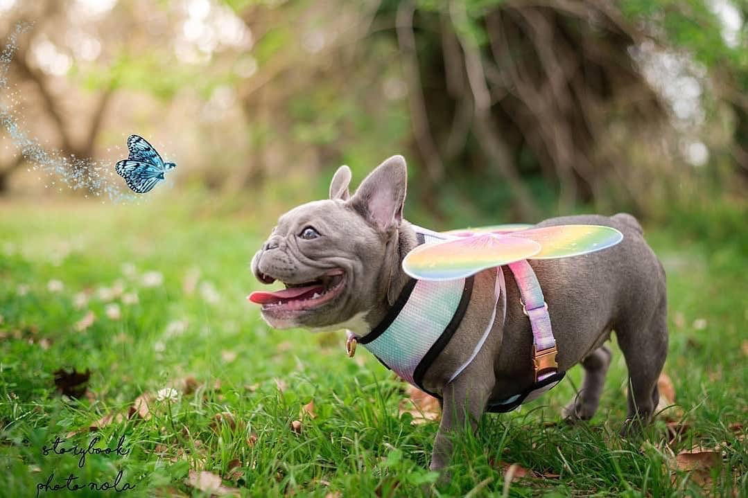 Frenchie puppy wearing Frenchiestore magical unicorn dog reversible Health Harness