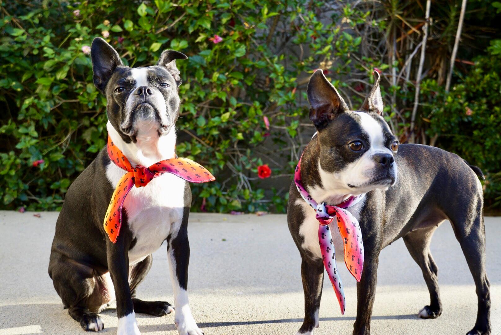 Boston Terrier perrito bufanda