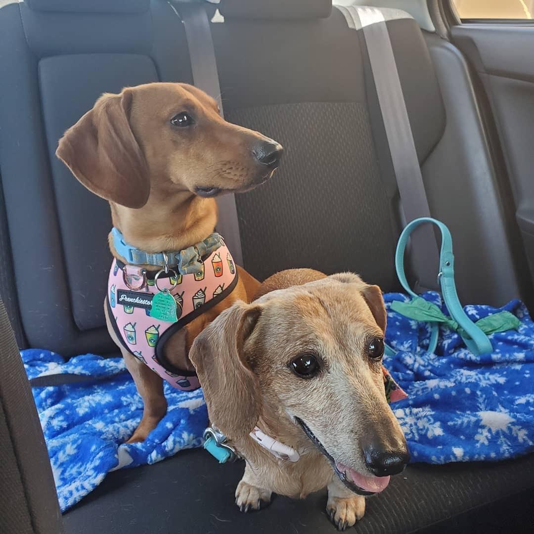 I cani bassotto allevano imbracatura
