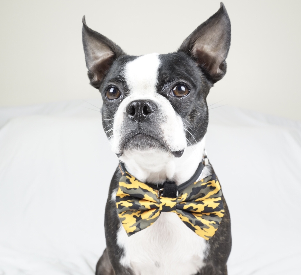 Boston Terrier Dog bow and breakaway collar
